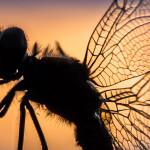 Heidelibelle im Sonnenuntergang